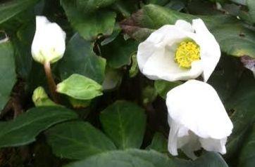 Rose de noel2 2